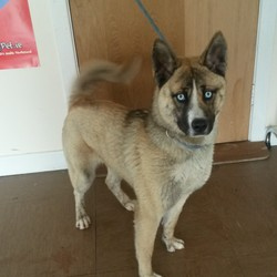 Found dog on 26 Jan 2015 in Wicklow. Husky/Akita Crossbreed found Wicklow Town.  Contact Wicklow Dog Pound on 040444873 for information.