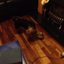 Found dog on 26 Jul 2012 in Limerick. Small Black and Tan yorkshire terrier found in Alandale Orchard on the SCR limerick 26th July. Wearing a pink collar. Nervous but quite friendly with people.Sorry about pic.. she is constantly moving!