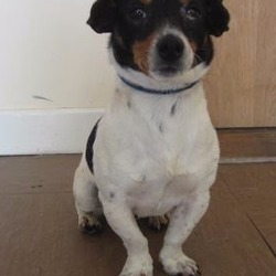 Found dog on 26 Jul 2017 in Redcross a. found...Patch (pound name) is a male Jack Russell cross found in Redcross area. Please contact Wicklow Dog Pound at 040444873 for further information