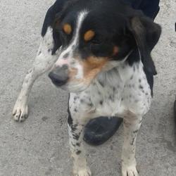 Found dog on 26 Mar 2015 in clondalkin village. found pointer,now in the dublin dog pound.. Date Found: Wednesday, March 25, 2015 Location Found: Village , Clondalkin