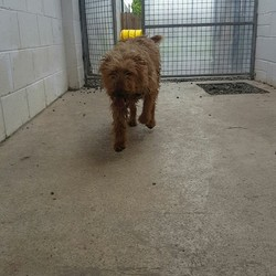 Found dog on 26 May 2016 in Johnstown Navan. found, 3yr old Irish Terrier..REF 223..found in Johnstown Navan....microchipped but incorrectly registered..wearing a collar but no id tag...contact Meath pound on 087 0676766..thanks