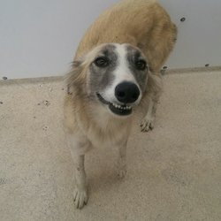 Found dog on 26 May 2017 in Gainstown Navan.. found..1 yr old Lurcher...ref 170..Female Lurcher found in Gainstown Navan..contact Meath pound on 087 0676766