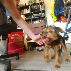Found dog on 26 May 2017 in hartstown. Young female yourkie recently groomed found in hartstown. No collar no chip