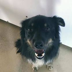 Found dog on 26 May 2017 in Newtown Drumconrath Co Meath. found..1yr old Collie x...found Newtown Drumconrath Co Meath.ref 172..contact Meath pound on 087 0676766...thanks