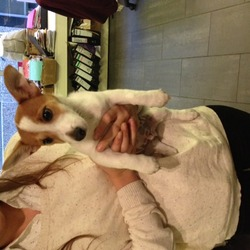 Found dog on 26 Nov 2013 in Grafton street, dublin 2.. puppy jack russell mix,very friendly tame.found on camden street this morning.