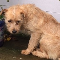 Found dog on 26 Nov 2014 in bettystown. found..terrier..Contact Drogheda Animal Rescue.female terrier found in the Integral Gym car park in Bettystown, Co Meath on Nov 13th, 2014. 