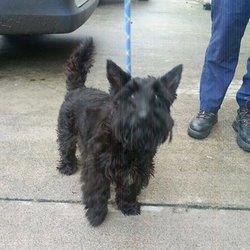 Found dog on 26 Nov 2014 in navan. found female Scottie.. in Garlow X Navan....ref 535....contact Meath pound.