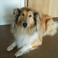 Found dog on 26 Nov 2014 in Wicklow. Rough Collie found Wicklow Town. Contact Wicklow Dog Pound on 040444873 for information.