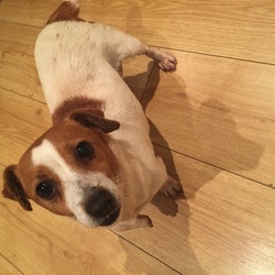 Found dog on 26 Nov 2015 in Clondalkin, Dublin 22. *FOUND DOG* picked up this little lady on the Old Nangor Road, Clondalkin, D22 at around 12am last night (Thursday 26th November 2015) - a female Jack Russell about 4 years old and extremely friendly. Looks like she's been lost a while. Staying with me until the owner is found, contact Sophie on 0857082930.