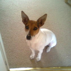 Found dog on 26 Oct 2011 in North County Dublin. Found in Swords, Dublin last October. Jack Russell Terrier (tall), female. Not neutered. White body, tan and black head.  Pointy ears.  Lovely nature.