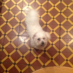 Found dog on 26 Oct 2014 in Dun Laoghaire . Bichon Frise found in Dun Laoghaire area.