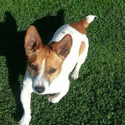 Found dog on 26 Sep 2014 in rathoath. Jrt...found in Rathoath ....contact Meath pound...087 0676766....