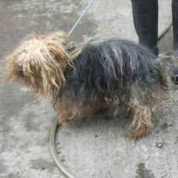 Found dog on 27 Apr 2015 in  Clondalkin , Village.... found yorkshire terrier, now in the dublin dog pound.. Date Found:
