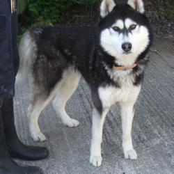 Found dog on 27 Apr 2015 in rd Mor , Tallaght. found husky, now in the dublin dog pound.. Date Found: