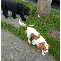 Found dog on 27 Apr 2017 in dublin_pound... found clonsilla , now in the dublin dog pound, ref to dogs aid facebook page...