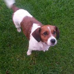 Found dog on 27 Aug 2015 in drogheda... found, contact dogs in distress....CKC X Terrier female found in Millmount Abbey, Drogheda Co Meath....please post here if you have any info...please share ..microchipped but not registered