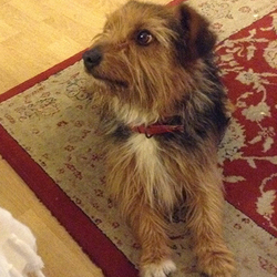 Found dog on 27 Feb 2015 in Shankill, Dublin 18. Small fox terrier type, mainly brown, white chest, shaggy dog found on Quinn's Road, Shankill, Dublin 18 on 27th Feb. Red collar, obviously  a family pet. This quiet little guy is used to sleeping on the sofa. Half of his right front paw is white. email cellakirwan@hotmail.com