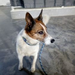 Reunited dog 27 Feb 2018 in navan... UPDATE...REUNITED....found,,Ref 52, male jrt, found in navan, contact 0870973911 if you have any information