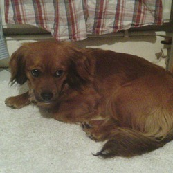Found dog on 27 Mar 2013 in Rahoon, Galway. Small Female spaniel/dachshund cross. Ginger all over. Very friendly. About a year old. No Collar and no microchip. Found in Rahoon area of Galway on 27/3/13