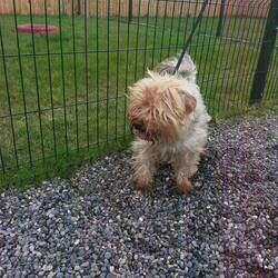 Found dog on 27 Mar 2014 in kells. GONE TO RESUCE WITH dogs in distress...contact 0863696413    1yr old Yorkie X...ref 182 ...very matted but very friendly...found in Moynalvy Kells...