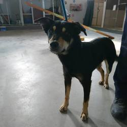Reunited dog 27 Mar 2017 in Coolronan. UPDATE HOME NEEDED,,,,OWNER CANT TAKE HIM BACK HOME....found..18mt old Collie X....neutered...ref 93  Found in Coolronan  Please contact Meath pound on 087 0676766...thanks