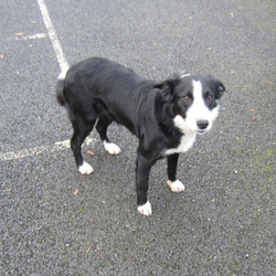 Found dog on 27 Nov 2012 in Celbridge, Co.Kildare.. Timid but friendly female Collie type dog roaming in the Ardclough area for two weeks