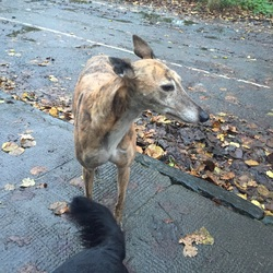 Found dog on 27 Nov 2015 in Dartry, Dublin 6. Female greyhound cross found in Darty Park, Dublin 6. No collar.