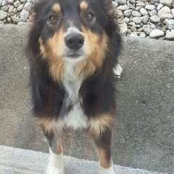 Found dog on 28 Apr 2015 in Spiddal, Co. Galway. Collie, found yesterday. Looks fairly young. Has a red collar.