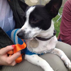 Found dog on 28 Aug 2014 in Dublin. Small young female black and white Jack Russell. Has had pups at some stage. Found Scholarstown Road, Rathfarnham. Friendly, quiet, affectionate, good with other dogs and cats.