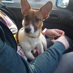 Found dog on 28 Dec 2013 in mulhuddart blanchardstown. jack russel female only young white with golden spots dogs trust collar on