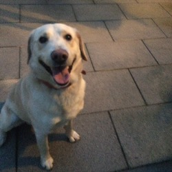 Found dog on 28 Dec 2015 in Palmerstown Dublin 20. Gold Labrador found in Palmerstown near Waterstown park, very friendly dog has a red collar, will bring him to vet tomorrow to see if he's microchipped, if anyone has information please ring 0876723409