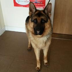 Found dog on 28 Feb 2015 in Wicklow. German Shepherd found near Brittas Bay, Co Wicklow.  Contact Wicklow Dog Pound for information on 040444873