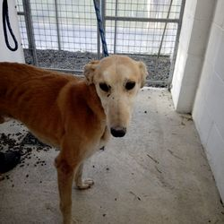 Found dog on 28 Feb 2018 in Batterstown,. found...Ref 53, male lurcher, found in Batterstown, contact 0870973911 if you can help or with any information