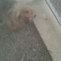 Found dog on 28 Jun 2016 in Carolan Vets Navan. found..2yr old Yorkie...brought in from Carolan Vets Navan...ref 257...As usual no collar, tag or microchip....please contact meath pound on 087 0676766...thanks