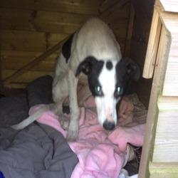 Found dog on 28 Mar 2013 in Trim, Co Meath. Female dog found, Trim Co Meath