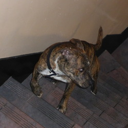 Found dog on 28 Mar 2014 in Wellmount Student Village - Athlone. Looks like an American Bull Terrier