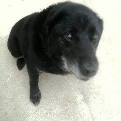 Found dog on 28 Mar 2015 in Ratoath/Skryne Rd. found Ref. 154: Wally, 10yr old Lab X. Found in Hallstown X, Ratoath/Skryne Rd. Please contact the Meath pound on 087 0676766