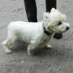 Found dog on 28 May 2015 in  Avonmore Road , Tallaght. found white terrier, now in the dublin dog pound.. Date Found: