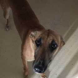 Found dog on 28 Sep 2017 in Kilbrew Ashbourne. FOUND...2yr old Lurcher ref 279 found with Sindy in Kilbrew Ashbourne...please contact Meath pound on 087 0676766...thanks