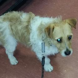Found dog on 29 Apr 2016 in  Celbridge Co Kildare. found, contact dspca..Male adult terrier (not neutered) found 28/04/16 in Celbridge Co Kildare.