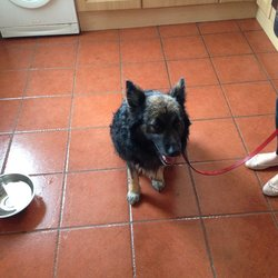 Found dog on 29 Aug 2014 in Artane Dublin 5. Male Black & Tan Collie Mix found in Artane Dublin 5 29.08.14 he has a red / orange collar with paw prints on it but no name