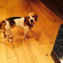 Found dog on 29 Aug 2014 in MEATH. FOUND BEAGLE CONTACT DOGS IN DISTRESS ON 086 3696413