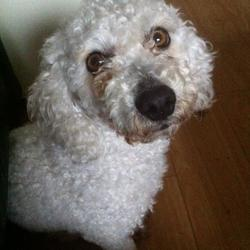 Found dog on 29 Mar 2015 in Dublin 2. Male Bichon/poodle, light brown eyes, wearing denim collar with ISPCA on it, no tags or ID.