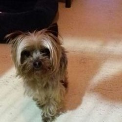Found dog on 29 Nov 2016 in Johnstown, Navan. found..2yr old Minature Yorkie...found in Johnstown, Navan..He is very scared so if going into foster cannot go with children...ref 453....contact Meath pound on 087 0676766...thanks