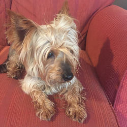 Reunited dog 29 Oct 2017 in Lucan, Dublin. found in Lucan area. Small male yorkshire terrier.  Found last night 9pm.