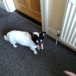 Found dog on 29 Oct 2017 in Phibsborough. Female adult Jack Russell found in Phibsborough. Call 089 9640585