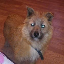 Found dog on 30 Dec 2012 in portarlington. small brown terrier found 30.12.12. in portarlington