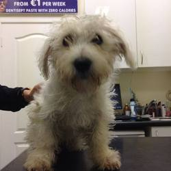 Found dog on 30 Dec 2013 in ashbourne. Puppy found in Ashbourne this evening, no collar or chip. Had to be taken to the vets but is doing okay. If the owner could contact ashbourne garda station, myself or the vets in Ashbourne that would be fantastic or if anyone knows this dog or his owner.