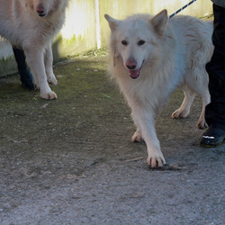 Found dog on 30 Jan 2013 in Meath dog pound. 2 white shepherd dogs found 30th Jan. Currently in Meath dog pound, have done stray time, anyone recognise them?