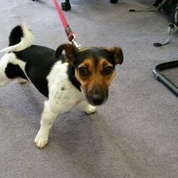 Found dog on 30 Jul 2015 in Enniskerry. Young female tri-colour jack russel terrier.  Owner has been in touch. She's found.